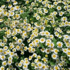 Image result for pyrethrum daisy
